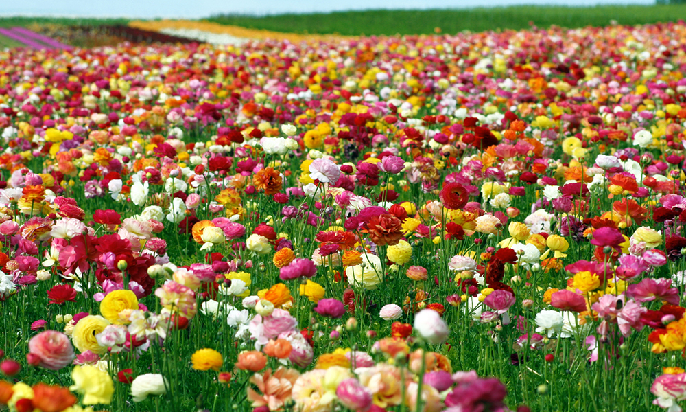 It's Flower Fields Season!